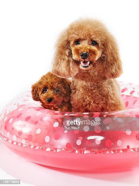 miniature poodles and float - barboncino nano foto e immagini stock