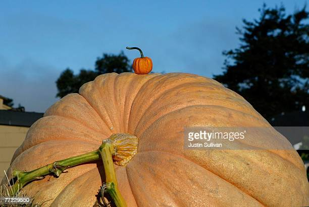 A miniature pumpkin sits on top of a giant pumpkin at the 34th Annual Safeway World Championship Pumpkin WeighOff October 8 2007 in Half Moon Bay...