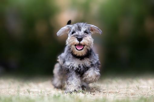 Miniature puppy Schnauzer at Play 1012208262