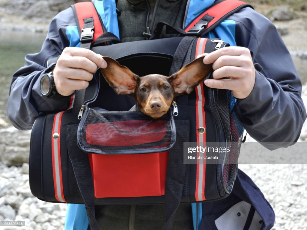 Miniature puppy  teckel walking in dog carrier in nature : Stock Photo