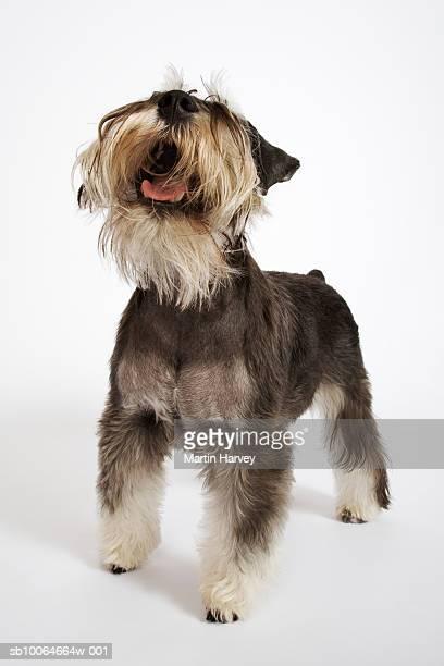 Miniature Schnauzer barking, studio shot