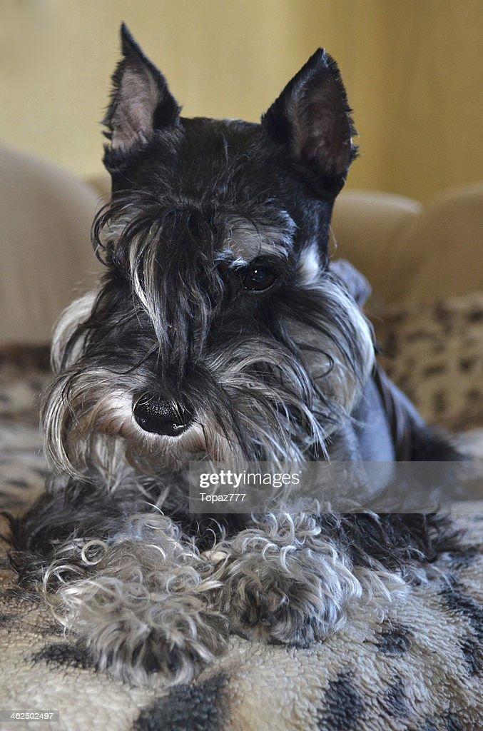 Miniature Schnauzer Hund Stock Foto