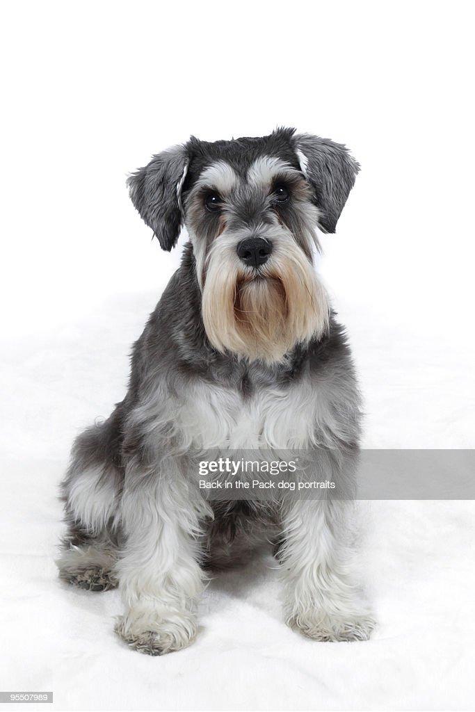 Miniature Schnauzer Dog Sitting On White Stock Photo
