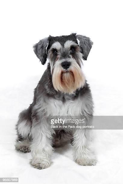 Miniature Schnauzer dog sitting on white
