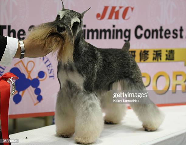 Miniature Schnauzer poses during the Asian International Dog Show at Tokyo Big Sight on April 3 2010 in Tokyo Japan