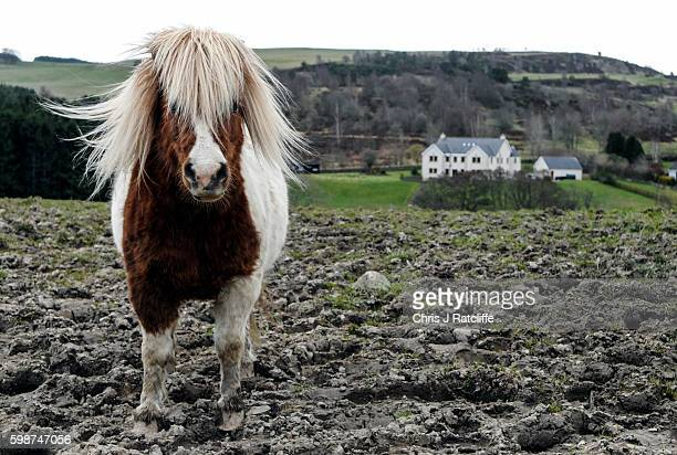 A miniature Shetland pony stands in the mud in a field at the Scottish Border town of Selkirk Scotland