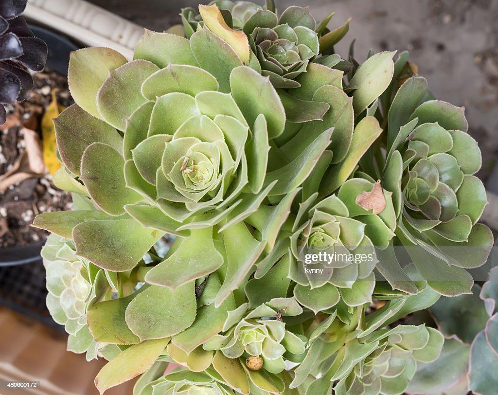 Miniature succulent plants : Stock Photo