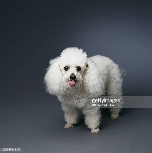 miniature white poodle - miniature poodle stock photos and pictures