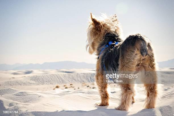 Miniature Yorkie Overlooks Sand Dunes