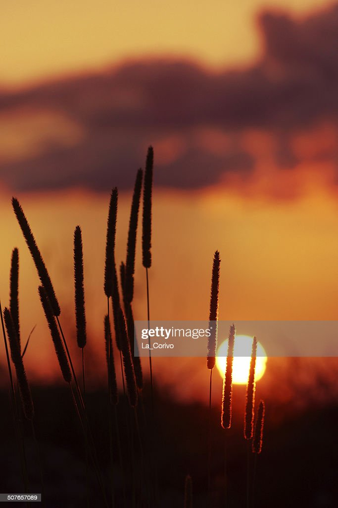 tall grass silhouette. Beautiful Tall Minimalist Nature Tall Grass Silhouette Golden Sunset  Stock Photo Throughout Silhouette T