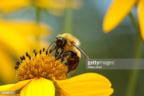 mining bee on tickseed sunflower, bidens polylepis - ape foto e immagini stock