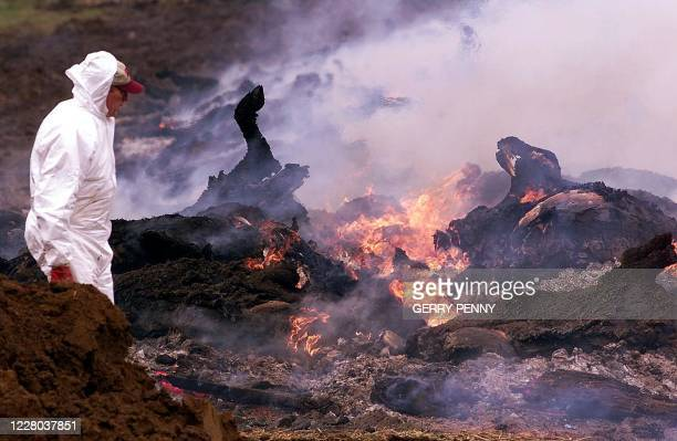 Ministry of Food official supervises as funeral pyres burn 19 March 2001, to destroy infected carcasses at a farm in Hexworthy on Dartmoor National...