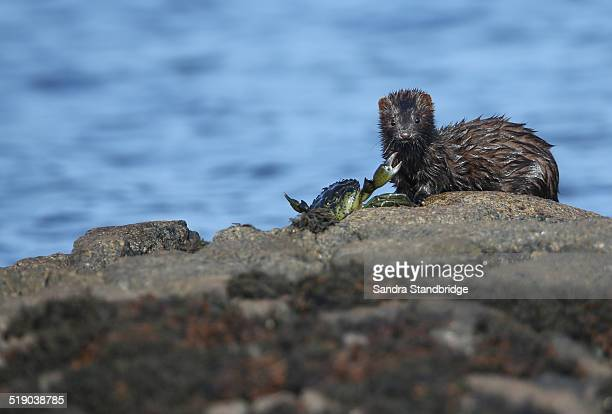 a mink being attacked by the crab it just caught - mink animal stock pictures, royalty-free photos & images