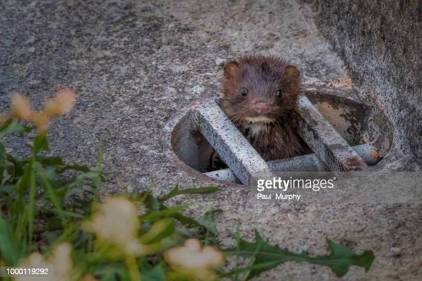 A Mink In Your Sink