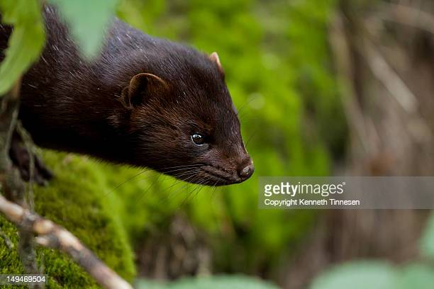 mink - mink animal stock pictures, royalty-free photos & images