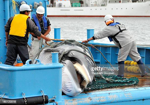 Mink Whale is unloaded during the first day of the research whaling at Kushiro Port on September 6 2013 in Kushiro Hokkaido Japan The research...