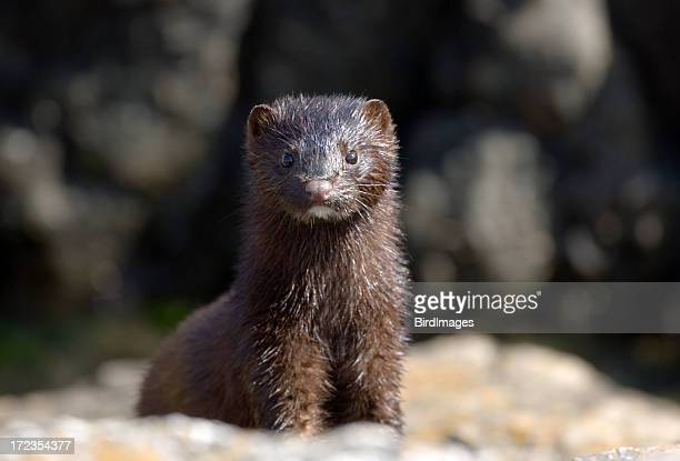mink with wet fur - mink animal stock pictures, royalty-free photos & images