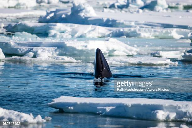 minke whale (balaenoptera acutorostrata), arctic ocean, spitsbergen, svalbard and jan mayen, norway - cetacea stock photos and pictures
