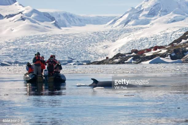 Minke whale in Cierva Cove Antarctica