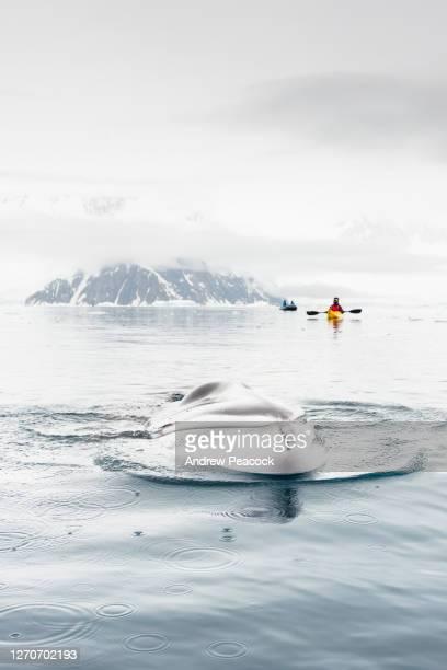a minke whale surfaces in neko harbour, antarctic peninsula, antarctica. - antarctica stock pictures, royalty-free photos & images