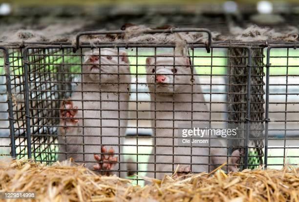 Minks at farmer Stig Sørensen's estate where all minks must be culled due to a government order on November 7, 2020 in Bording, Denmark. Like many...