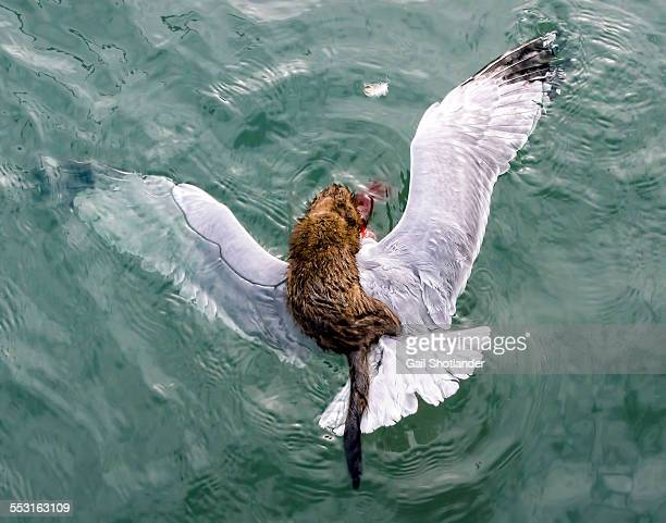 mink's attack on the gull - mink animal stock pictures, royalty-free photos & images