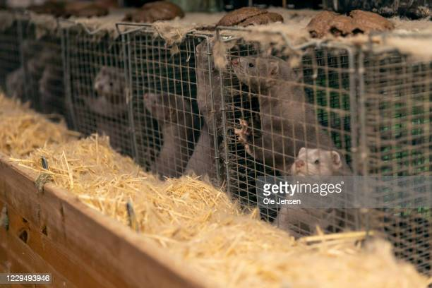 Minks on a farm owned by the family Rønnow seen on November 6, 2020 in Herning, Denmark. The family have been forced cull all minks due to a...