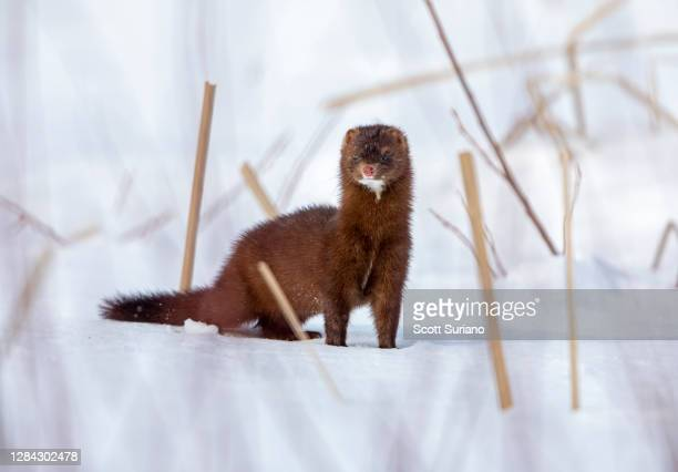 minky - mink animal stock pictures, royalty-free photos & images