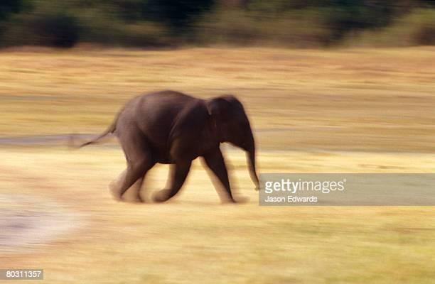 An endangered Asian Elephant calf runs across a floodplain at sunset.