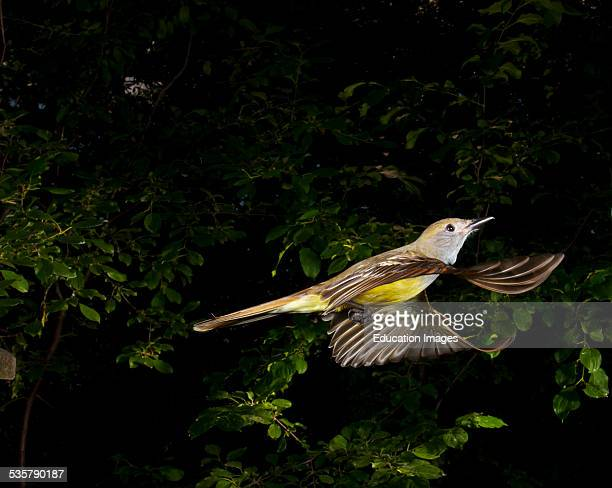 Minnesota Mendota Heights Great Crested Flycatcher Flying wings spread
