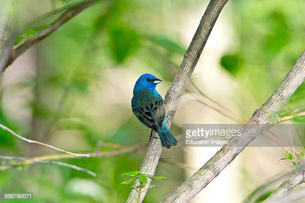 Minnesota Mendota Heights Indigo Bunting perched on a branch