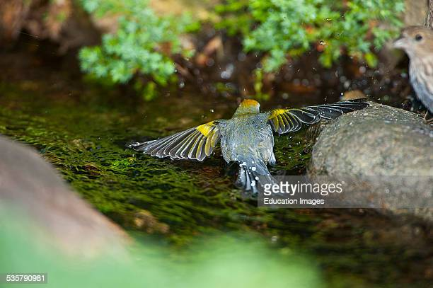 Minnesota, Mendota Heights, Male Golden-winged Warbler bathing.