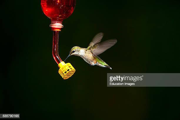 Minnesota Mendota Heights Rubtthroated Hummingbird feeding in flight at feeder