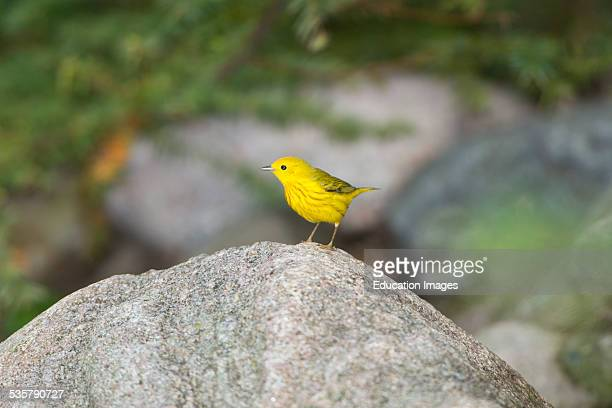 Minnesota Mendota Heights Yellow Warbler perched on Rock