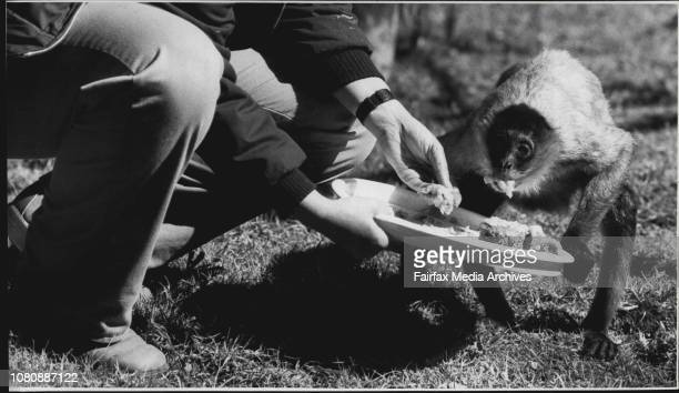 Minnie' being fed by Sue haddock Pic shows Monkey eating a slice of its birthday cake yesterday'Minnie' a Spider Monkey from South America had her...