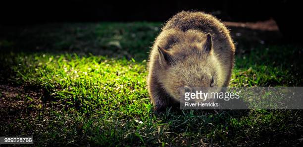 minnie the wombat - wombat stock pictures, royalty-free photos & images