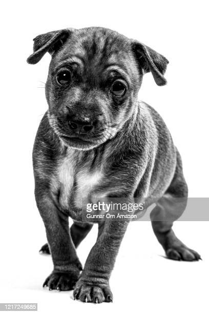 minpin puppy on white - gunnar örn árnason stock pictures, royalty-free photos & images
