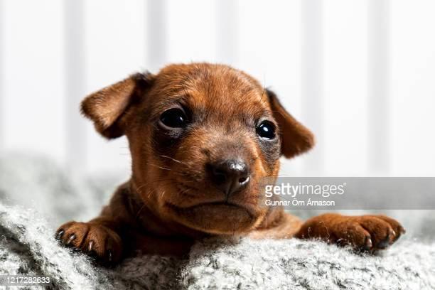 minpin puppy - gunnar örn árnason stock pictures, royalty-free photos & images