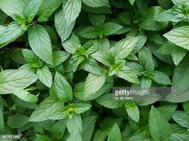 Mint green plants