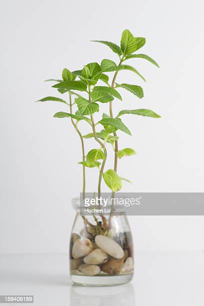 Mint growing in bottle