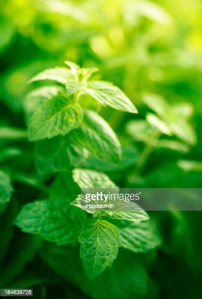 mint in herb garden