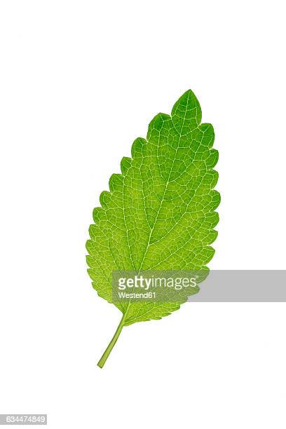 Mint leaf, Mentha, white background