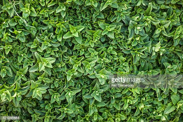 mint leaves morocco - mint leaf culinary stock pictures, royalty-free photos & images