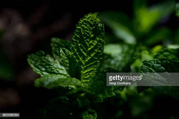 mint leaves - minze stock-fotos und bilder