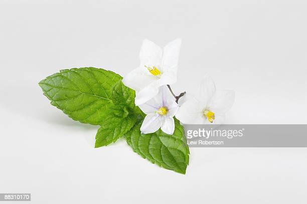 Mint leaves with blossoms