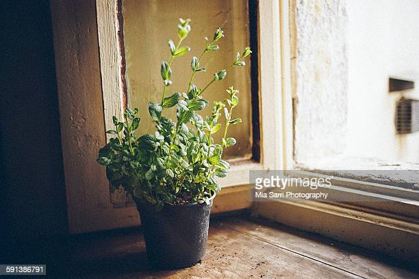 mint - sarri stock pictures, royalty-free photos & images