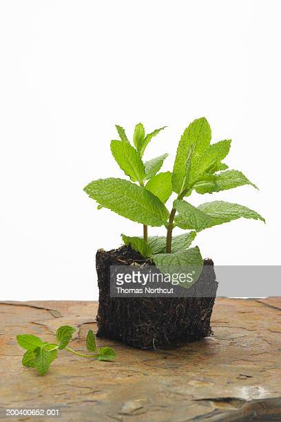 Mint plant in dirt