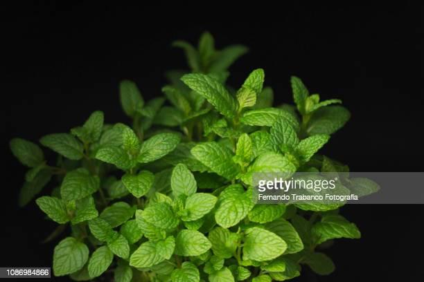 mint plant - minze stock-fotos und bilder