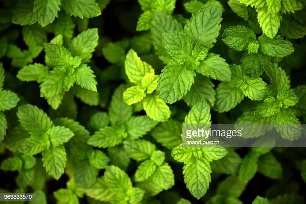 mint plants in garden, an ayurvedic herb - aromaterapia imagens e fotografias de stock