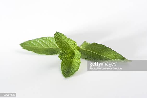 mint sprig - mint leaf stock photos and pictures